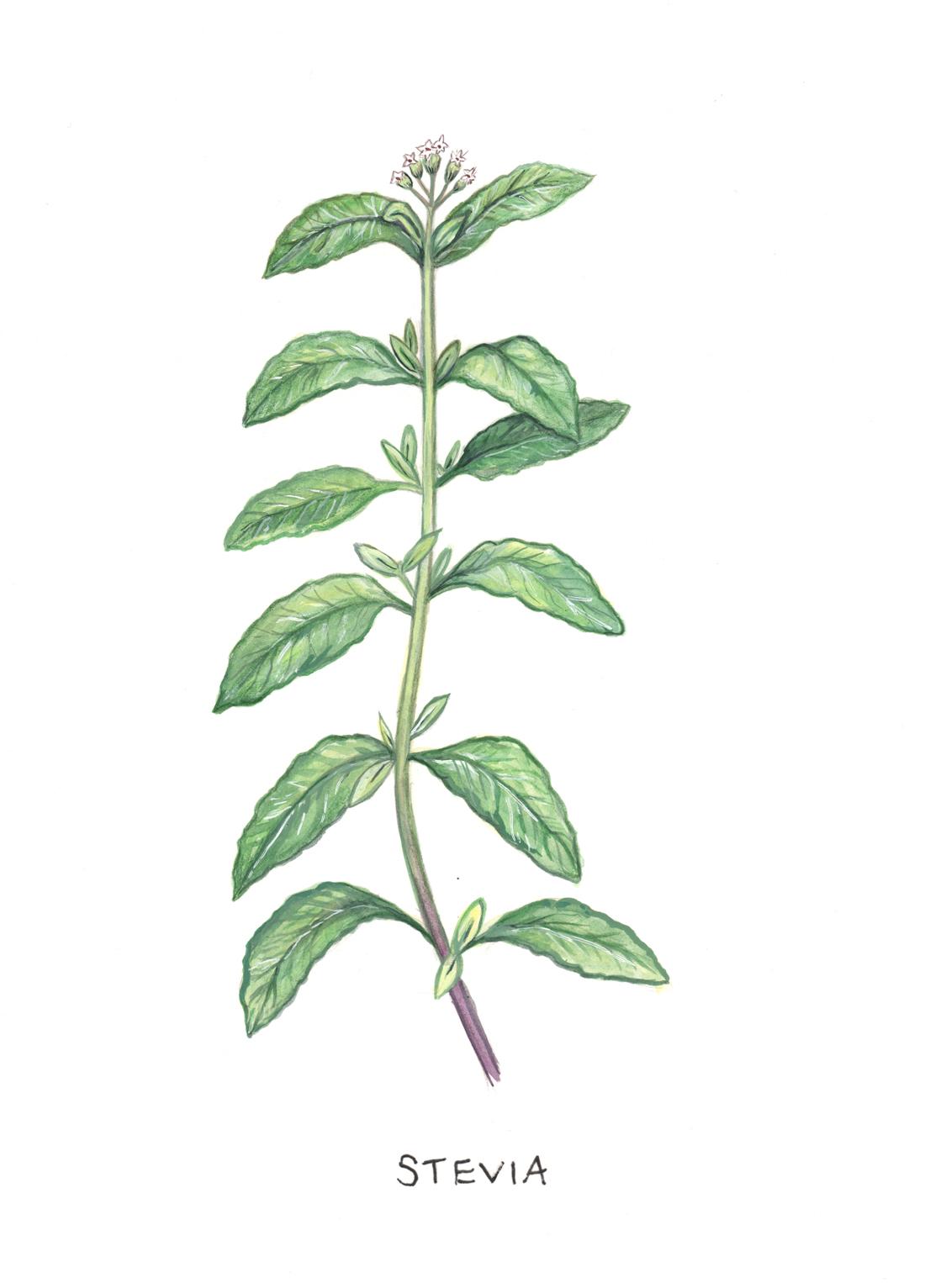 Stevia Botanical Illustration