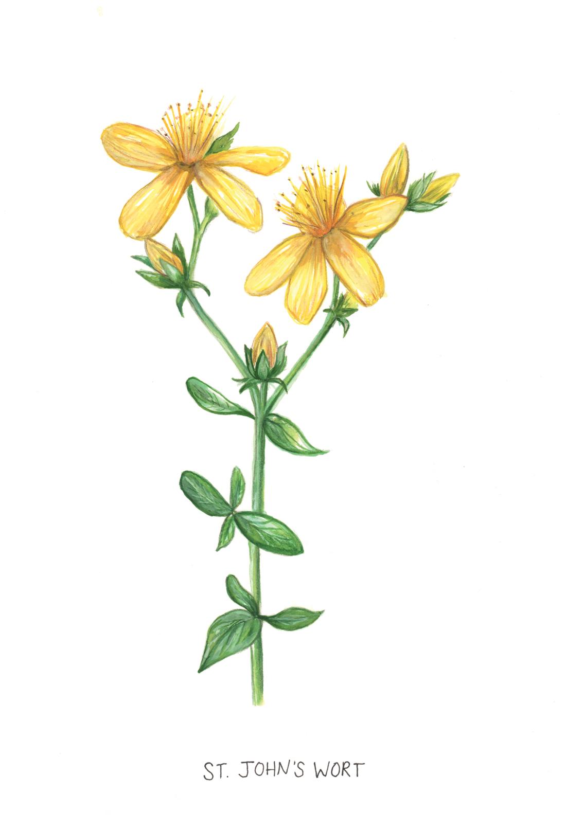 St. John's Wort Botanical Illustration