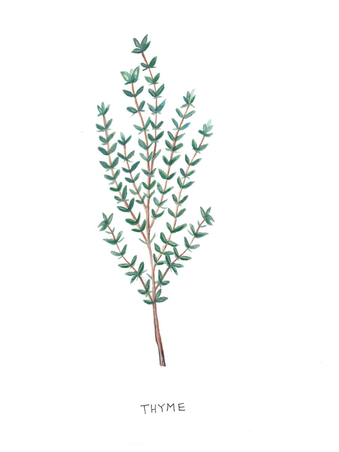 Thyme Botanical Illustration