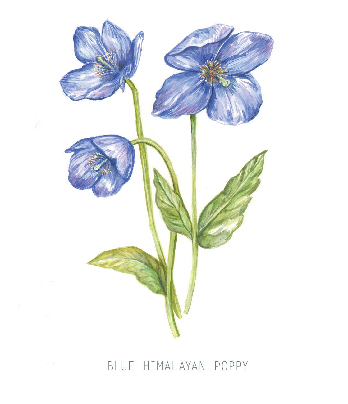 Blue Himalayan Poppy Illustration
