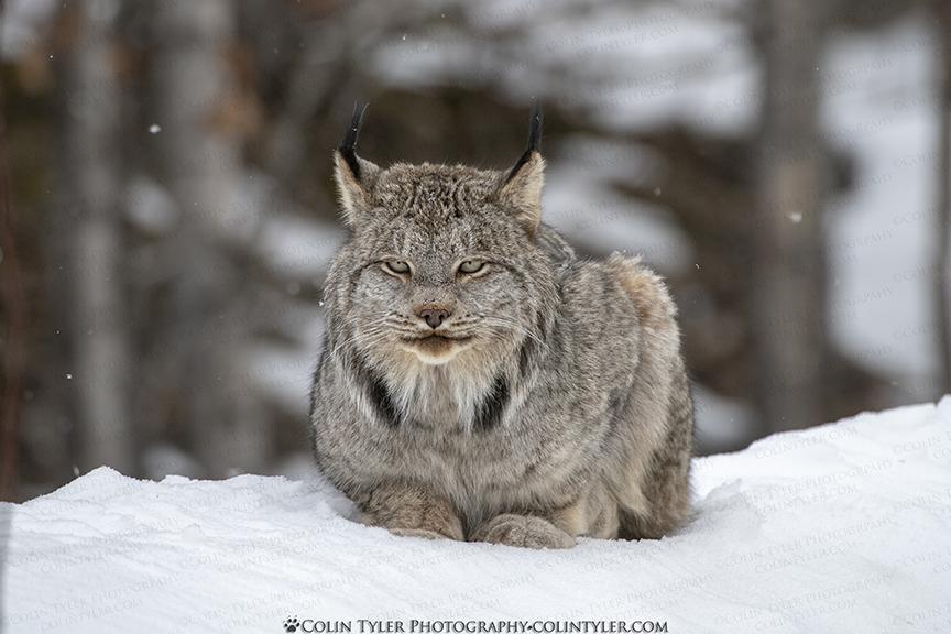 Resting Lynx Face