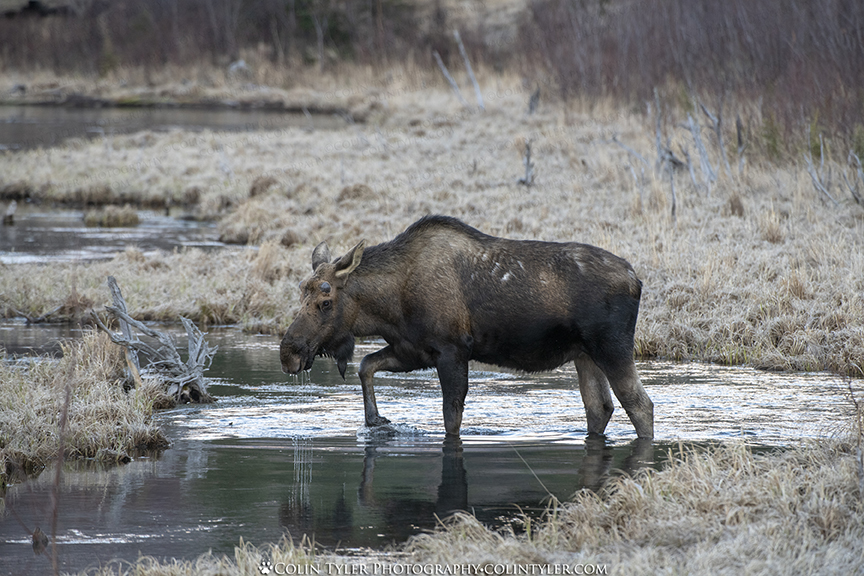 Bull Moose crossing the creek at the Eagle River Nature Center