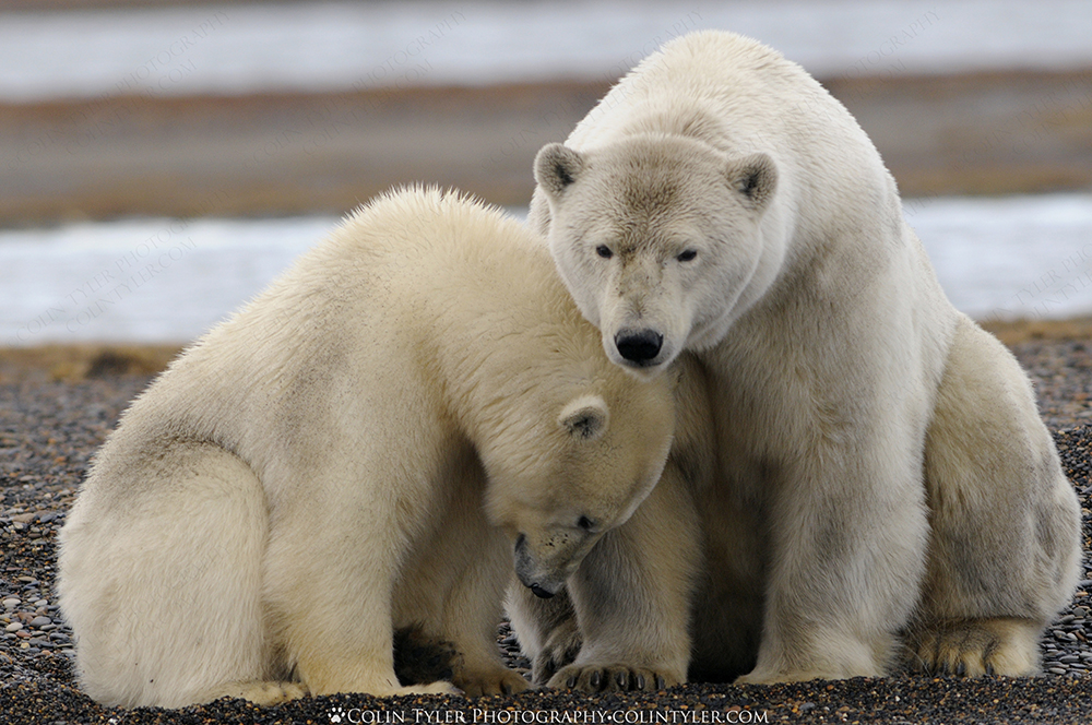 Polar bear sow and cub. Arctic National Wildlife Refuge, Alaska.
