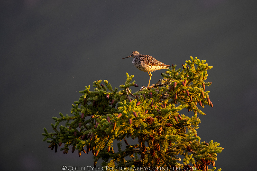 Greater yellowlegs perched in a spruce tree.