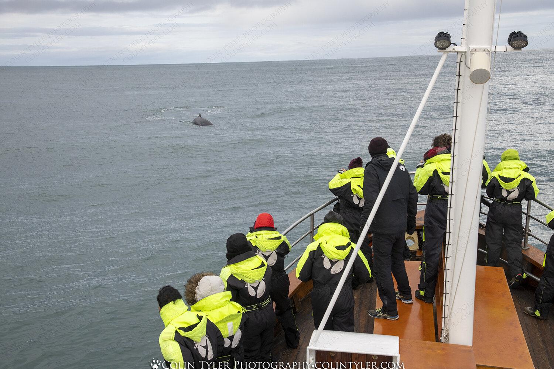 Minke whale lunge feeding.