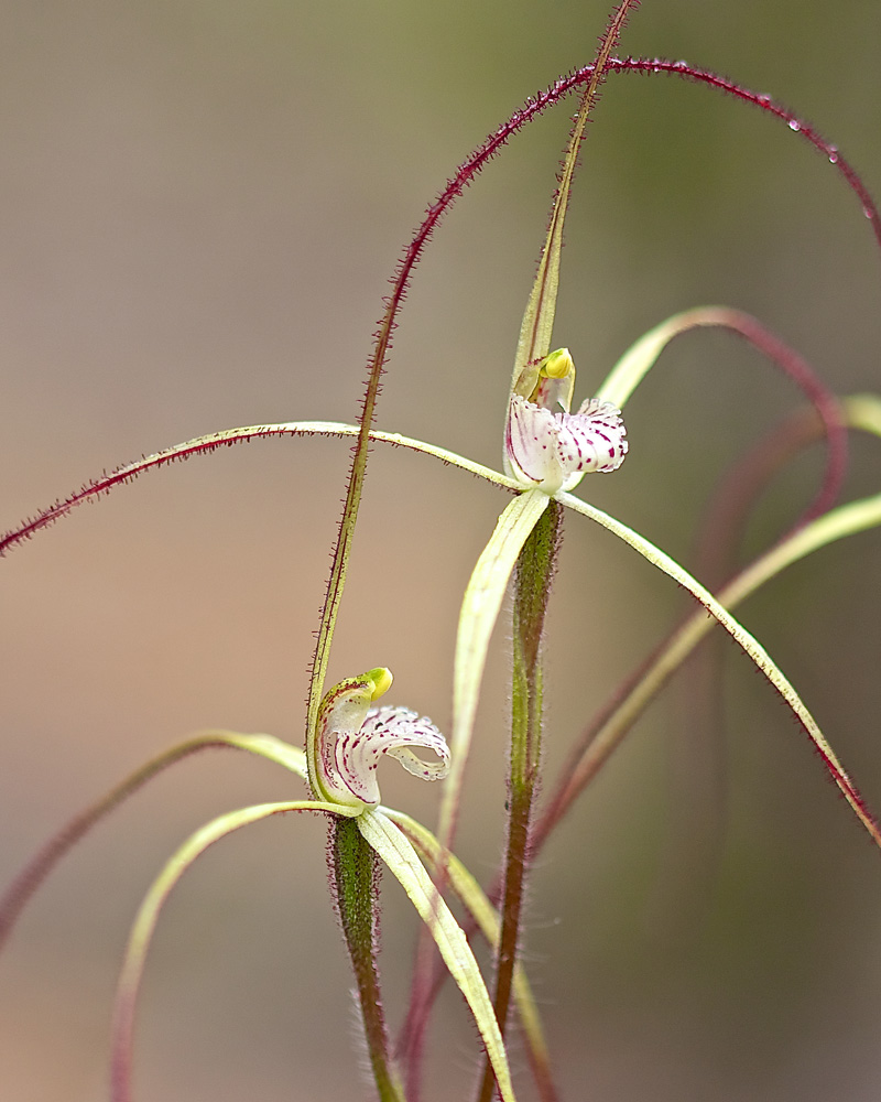 Western Whispy Spider Orchid
