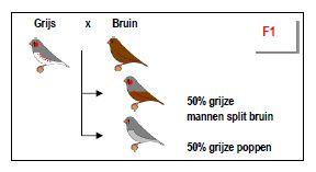 Zebravink Bruin - figuur 3