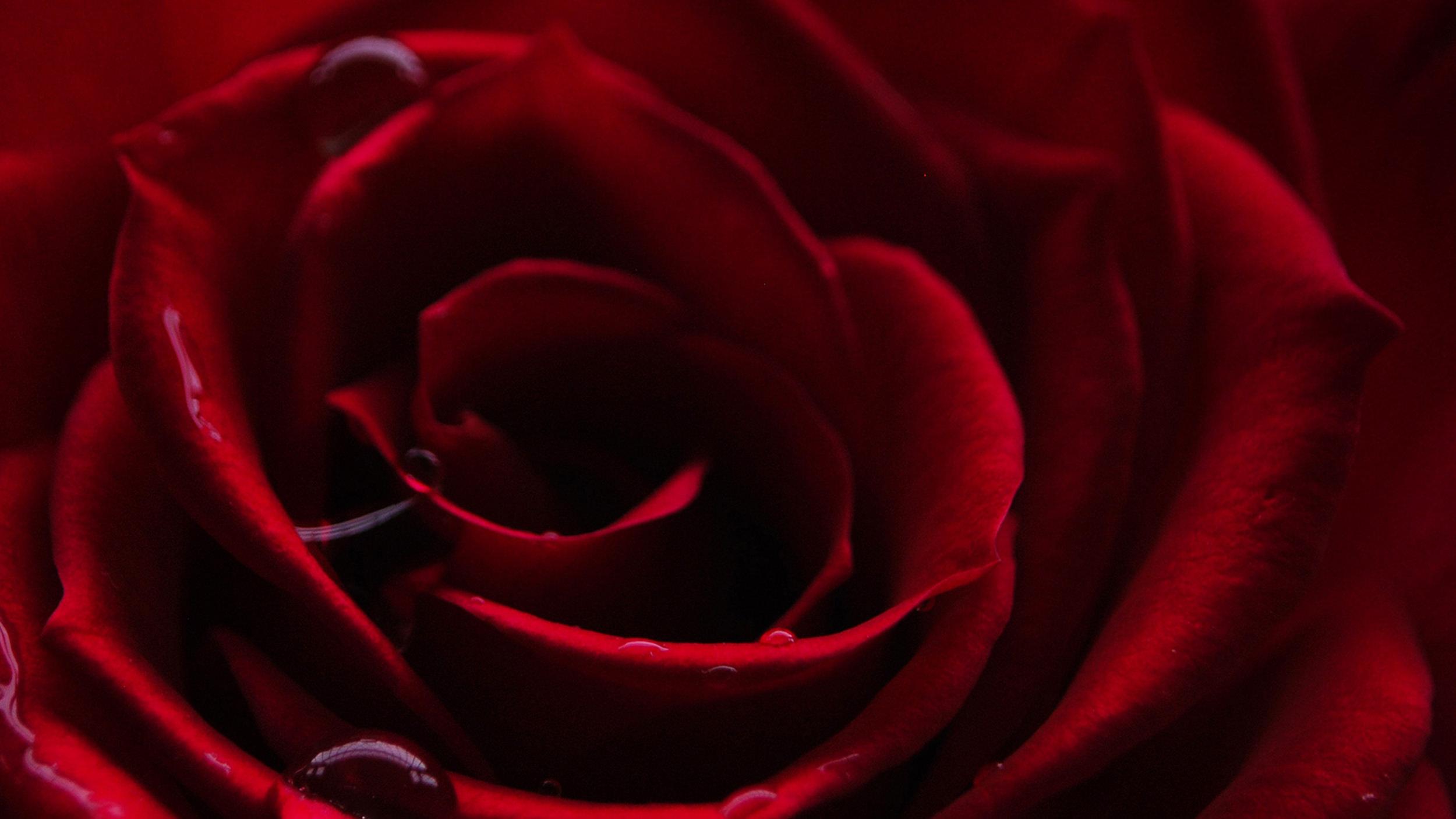 La rose rouge   : symbole de passion.