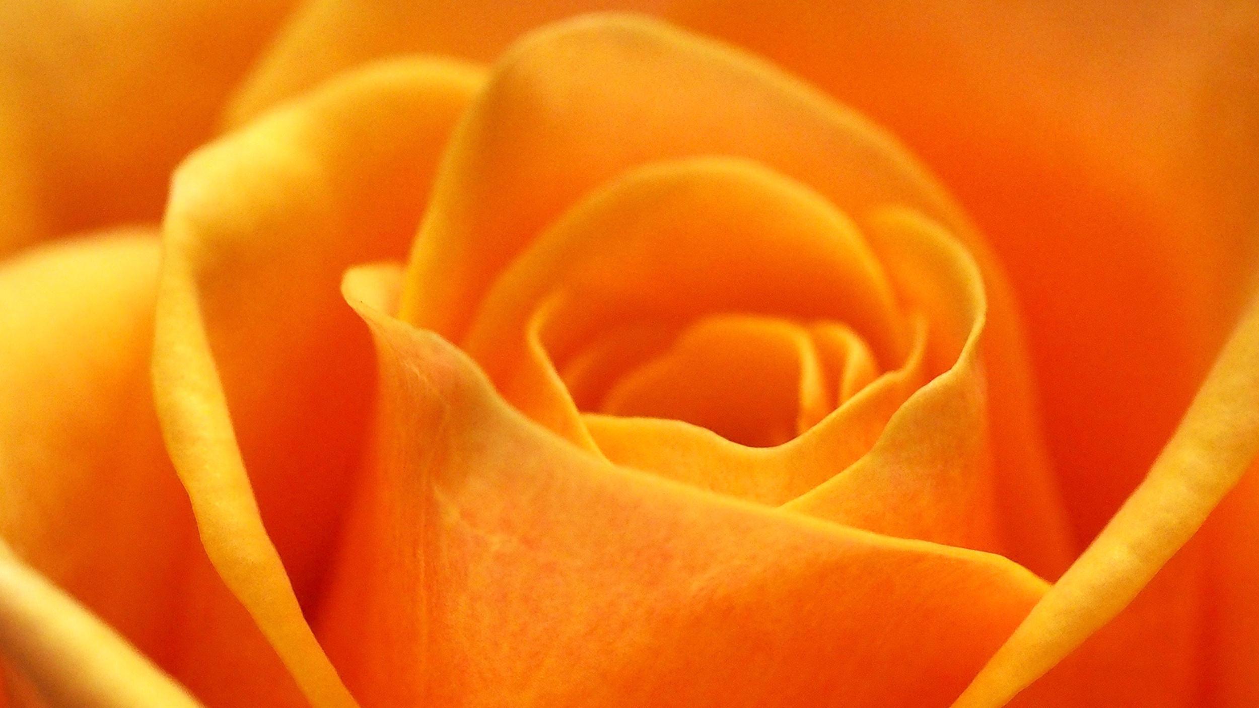La rose orange   : symbole d'admiration.