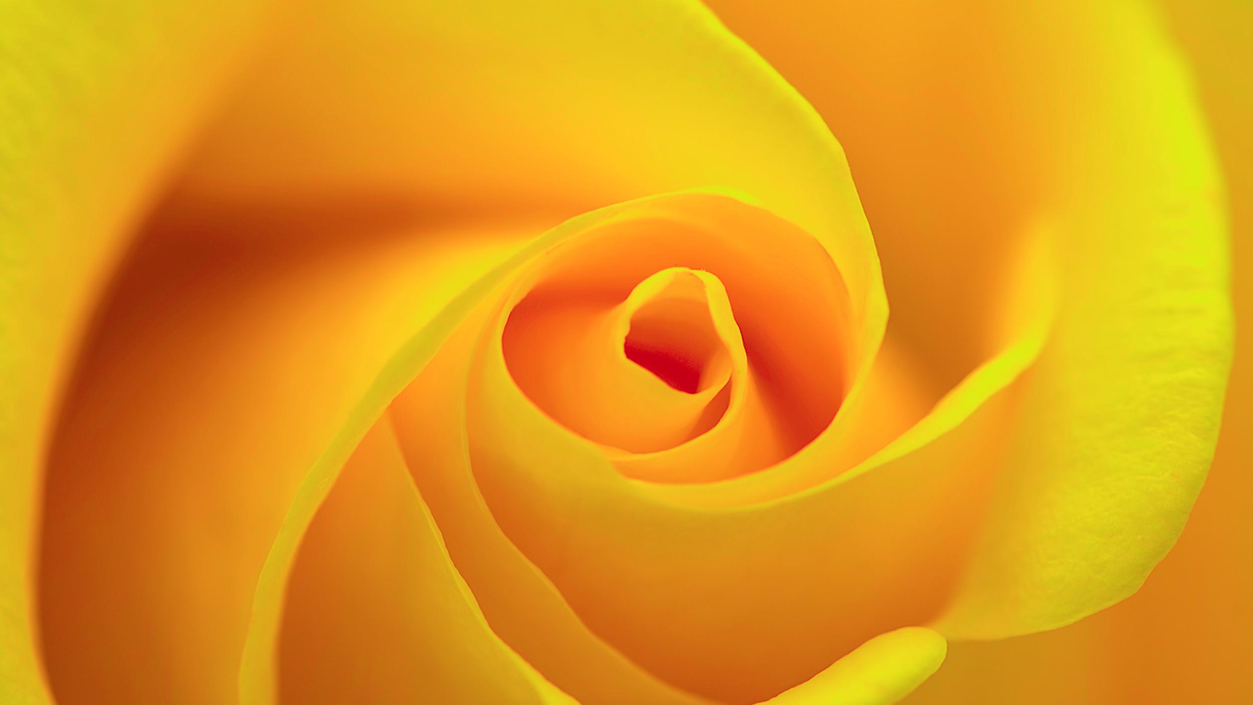 La rose jaune   : symbole de joie ou de trahison.