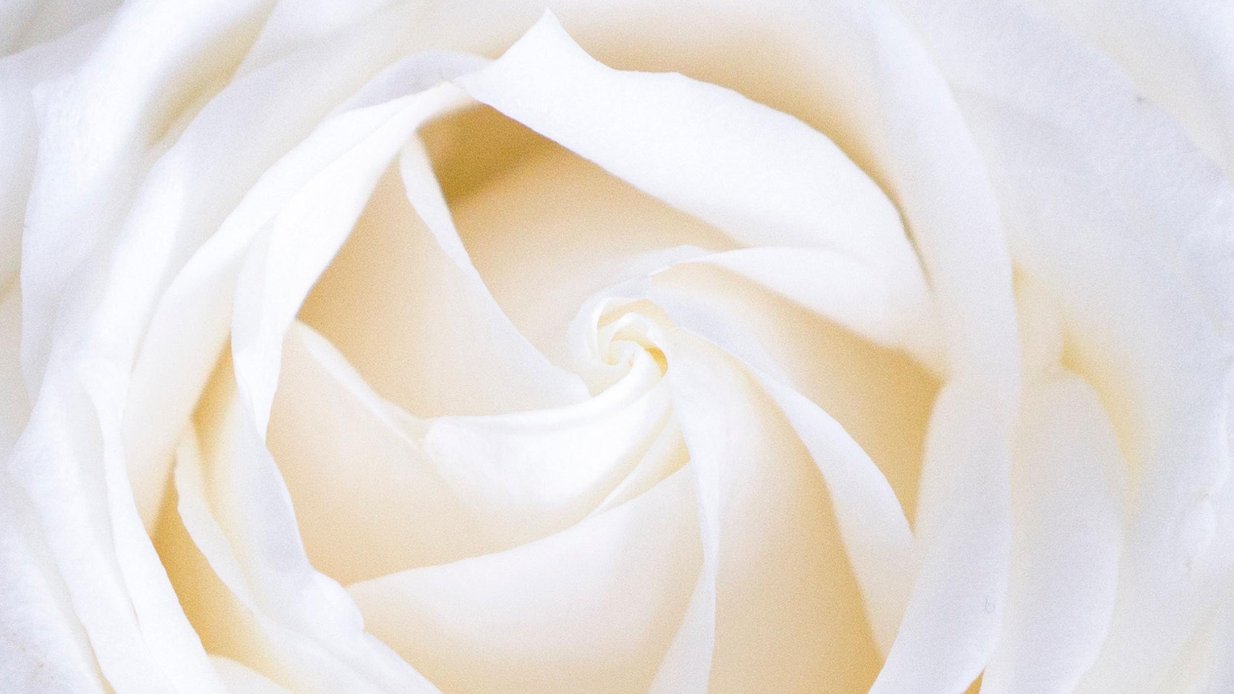 La rose blanche   : symbole de pureté.