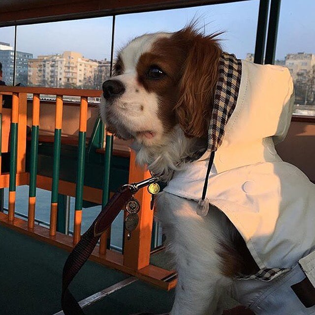 👀🤗Oscar on board⛴‼️🐶🐾🐾 #budapest #hungary #travel @ariahotelbudapest #voyage #luxury #boat #danube #river 🇭🇺 . Retrouvez notre Croisière sur le Danube dans nos ARTICLES SUR BUDAPEST LA PET-FRIENDLY 👉site 👉BIO🔝📲🔝🚨FACEBOOK - TWITTER‼️ . #jetsetsouffle #dog #instadog #fun #cutie #pet #petsofinstagram #doglover #smile #love #luxury #cavalierkingcharles #spaniel #kingcharles #care #newlook #paris #fashion #mulberry #petaccessories #art #petfriendly #trenchcoat