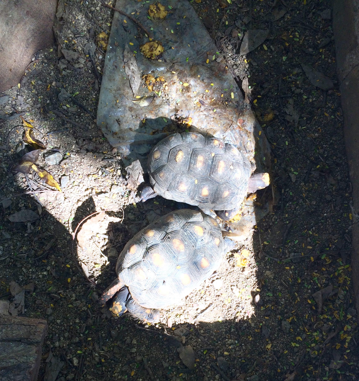 Casanovas' pet turtles sunning themselves under a tree