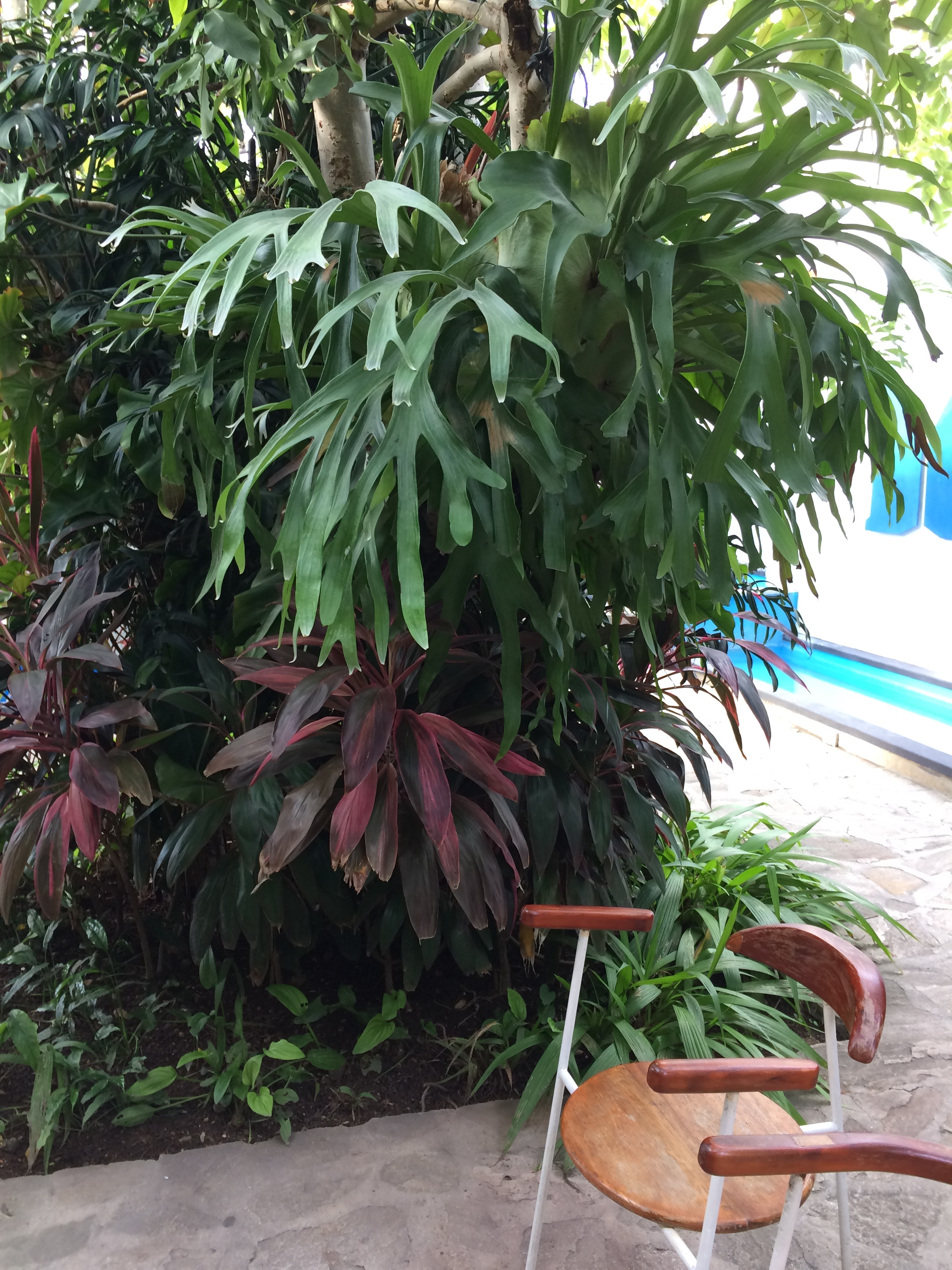 Staghorn ferns obviously like the Cuban climate