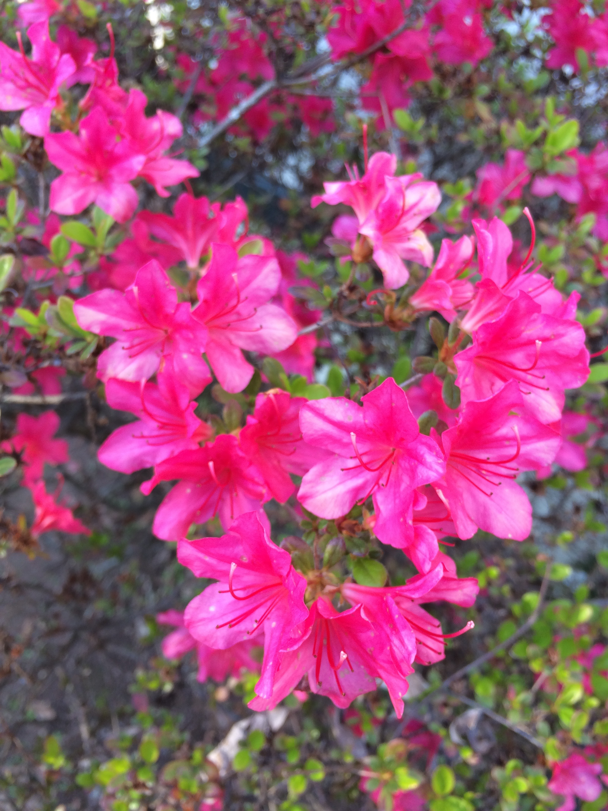 The region is known for its azaleas.