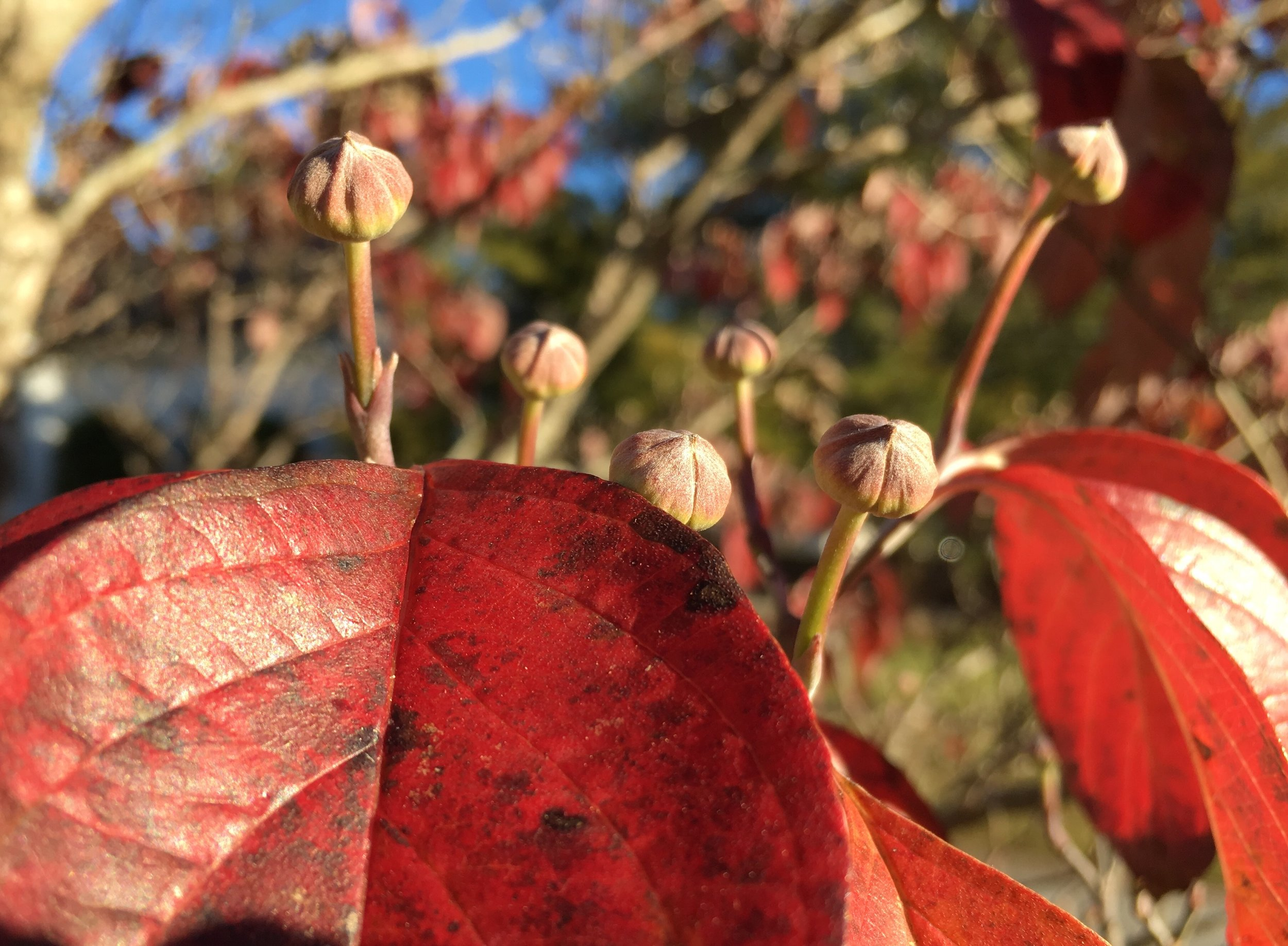 Leaves will fall, buds stay on bare branches through the winter...