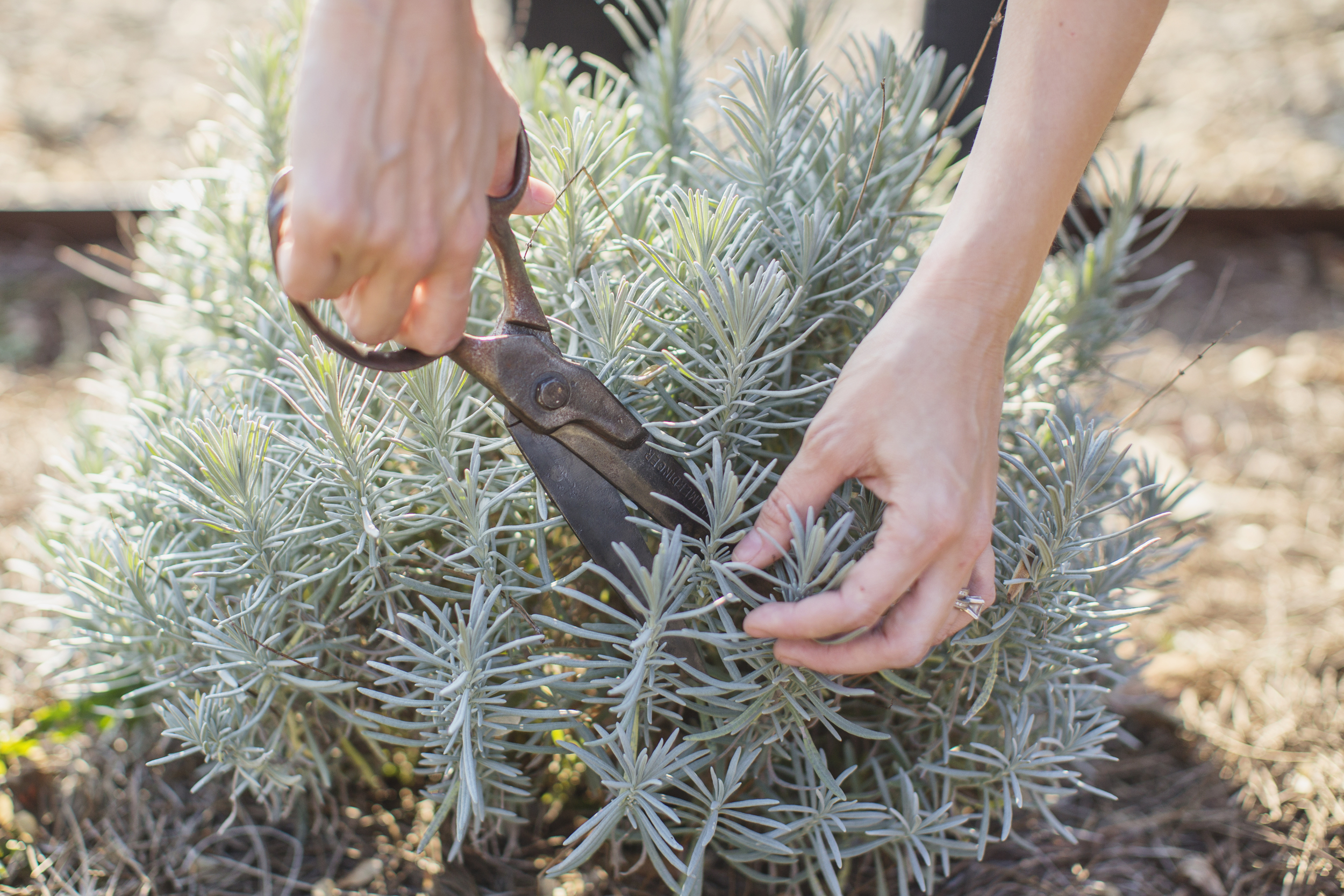 clipping lavender from herb garden