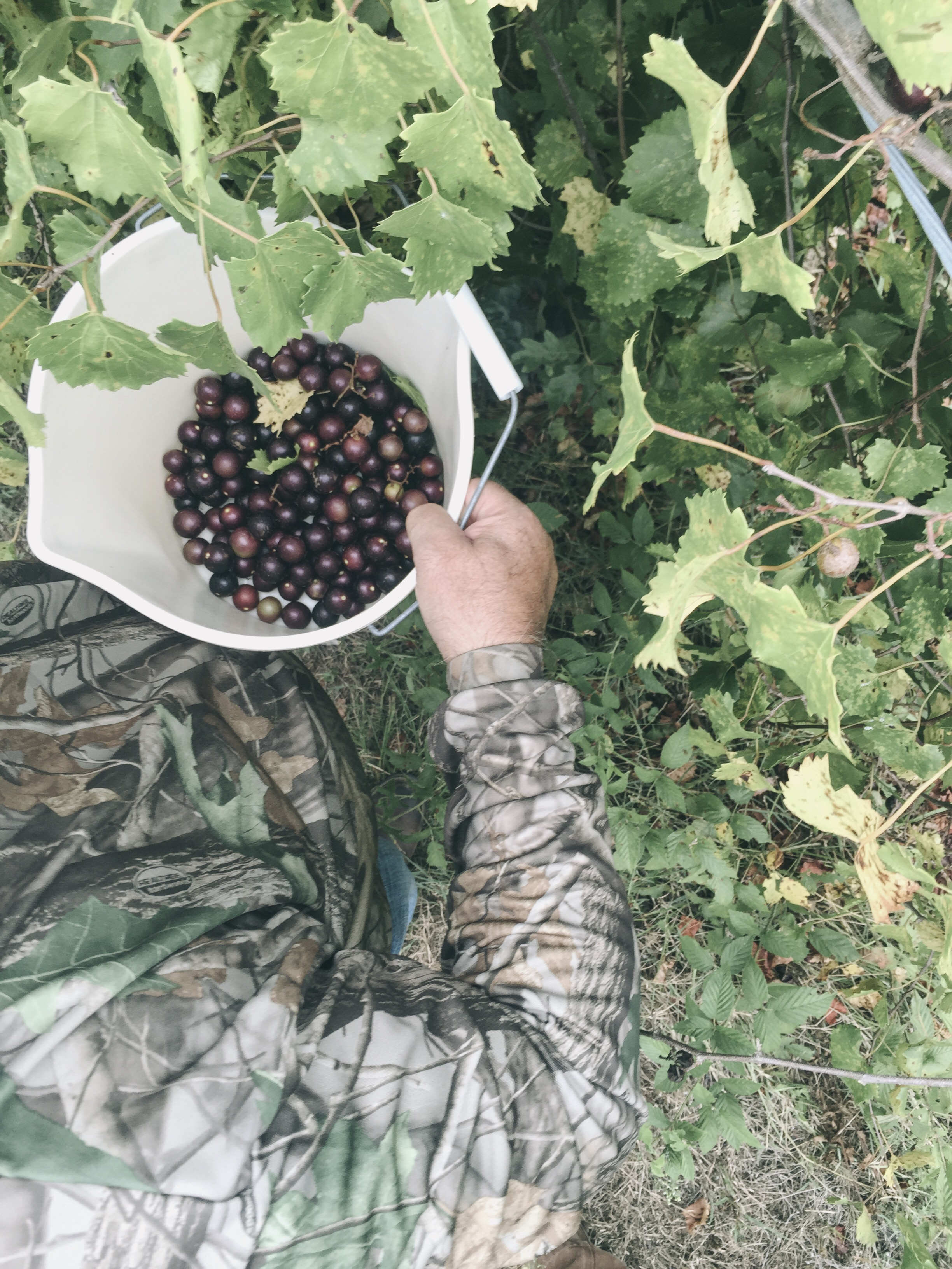 picking muscadine grapes