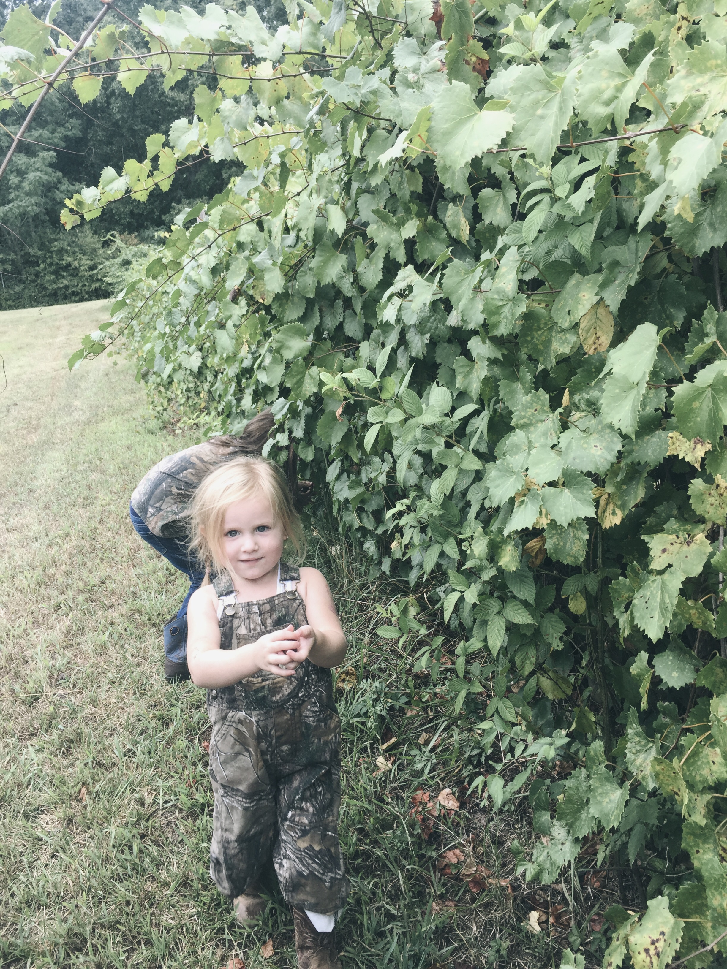 picking muscadines off the vine