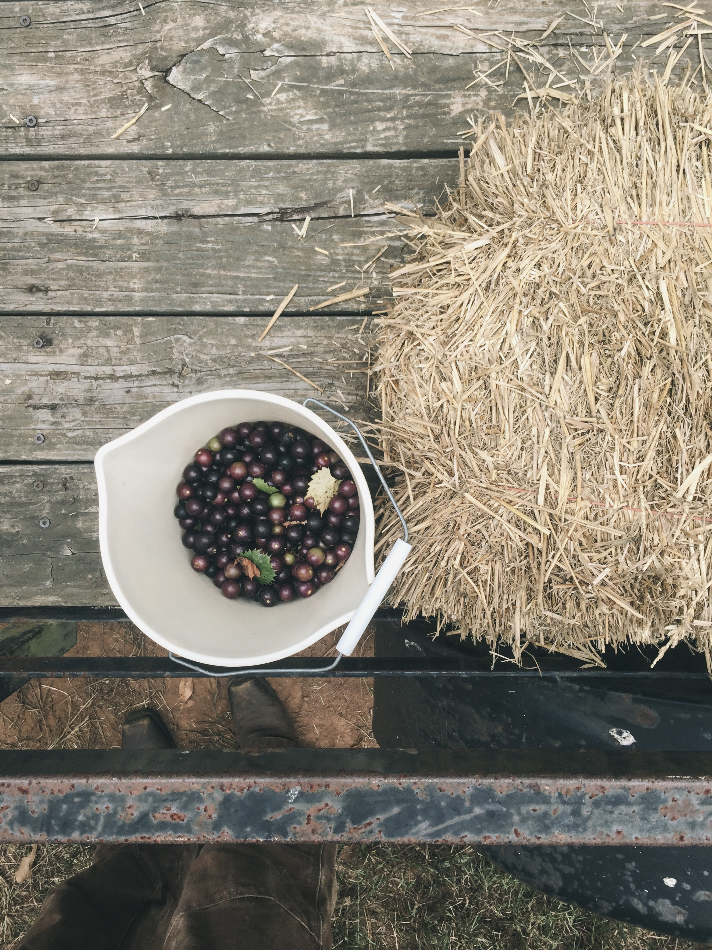 bucket of muscadines and scuppernogs
