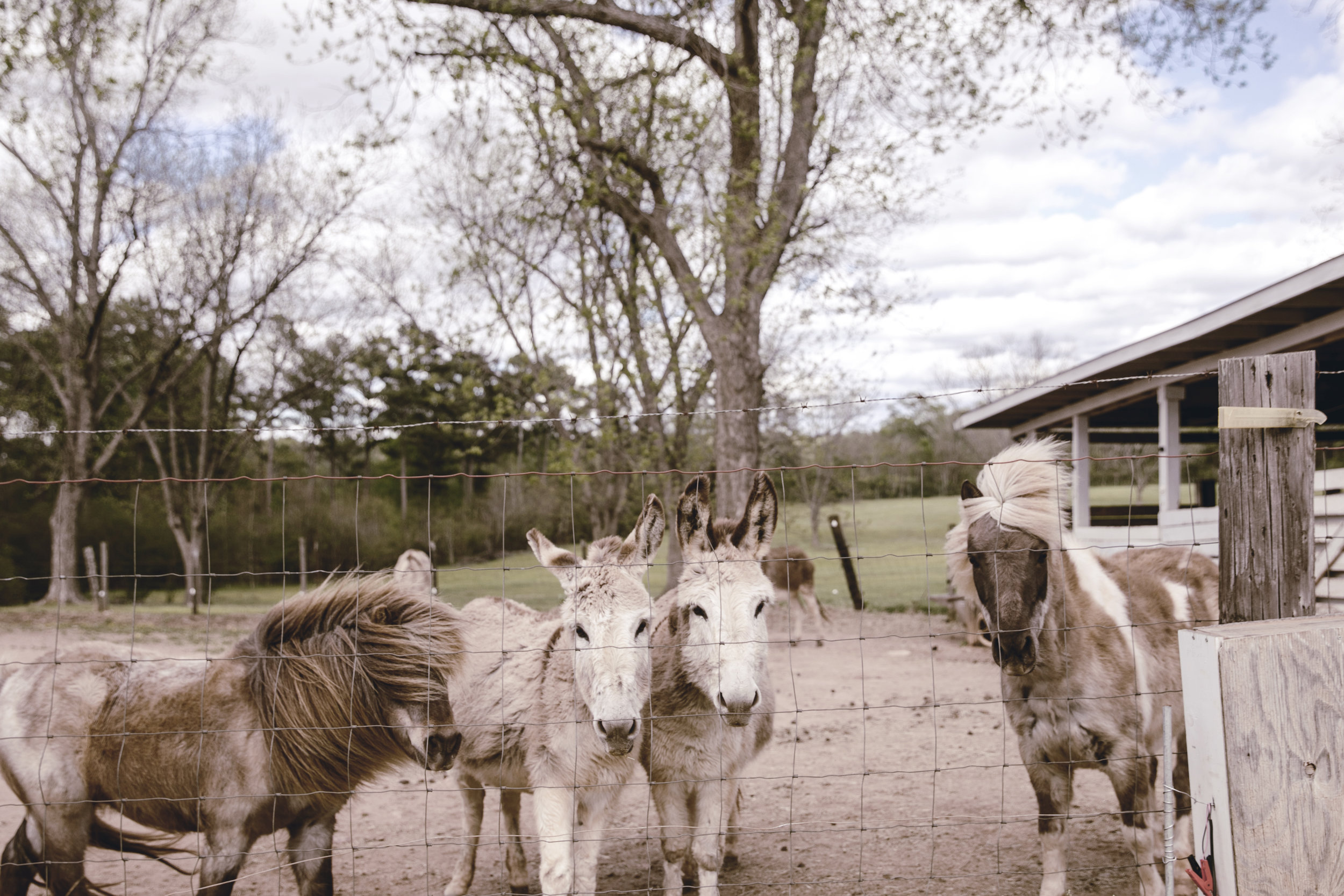 ponies and donkeys at the farm / heirloomed