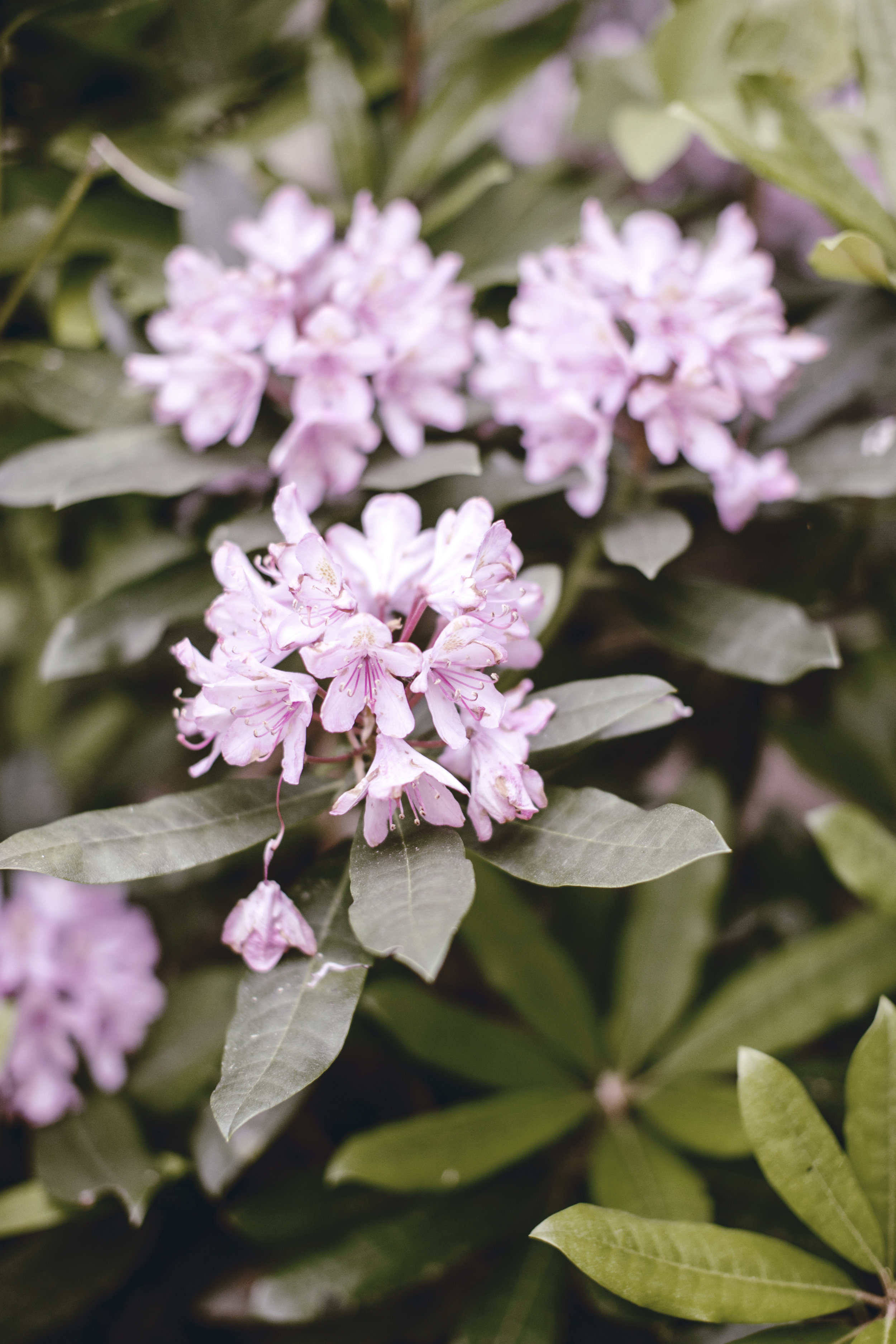 rhododendron / heirloomed