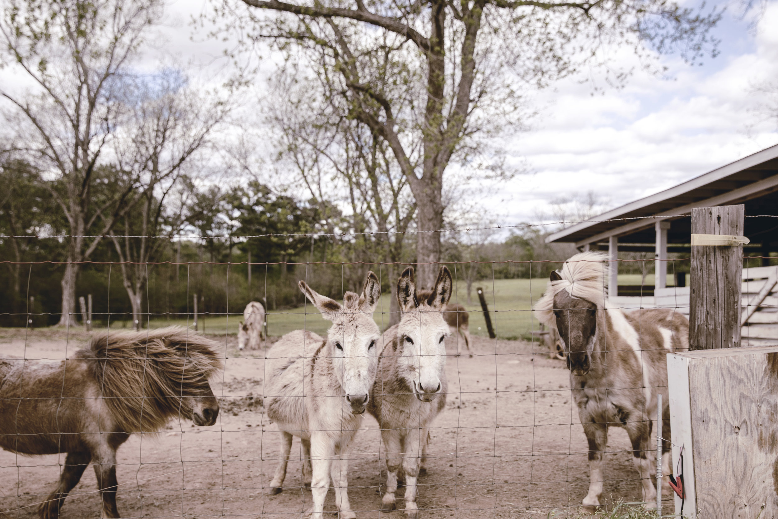 donkeys and ponies at the family farm / heirloomed