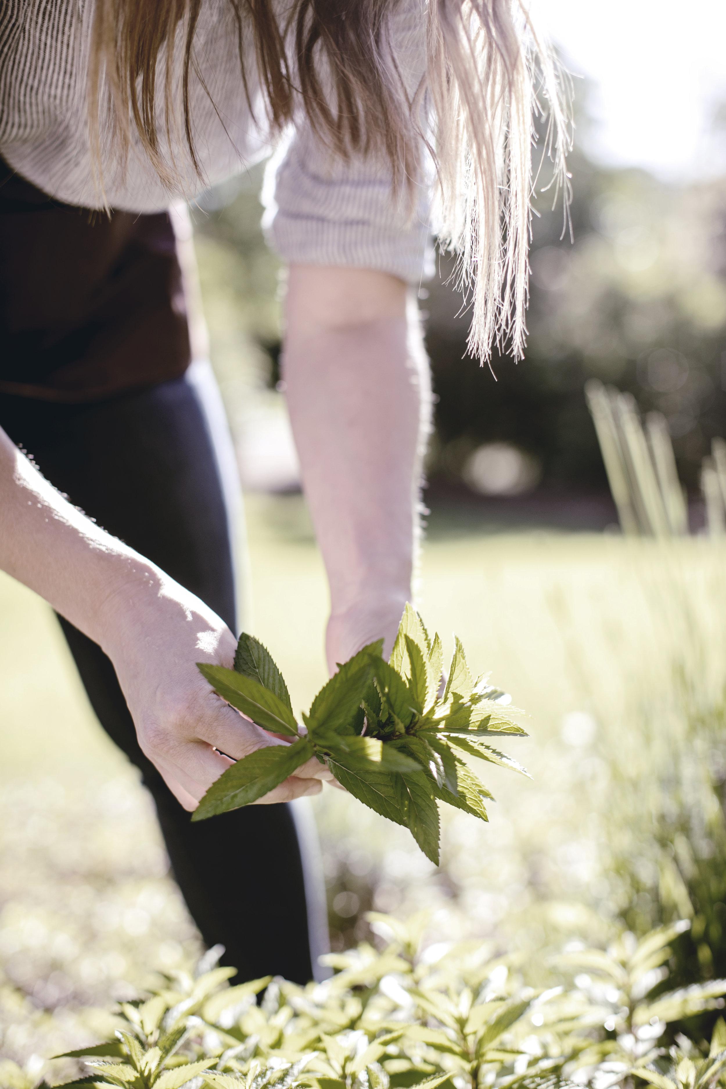 Mint herb garden / heirloomed