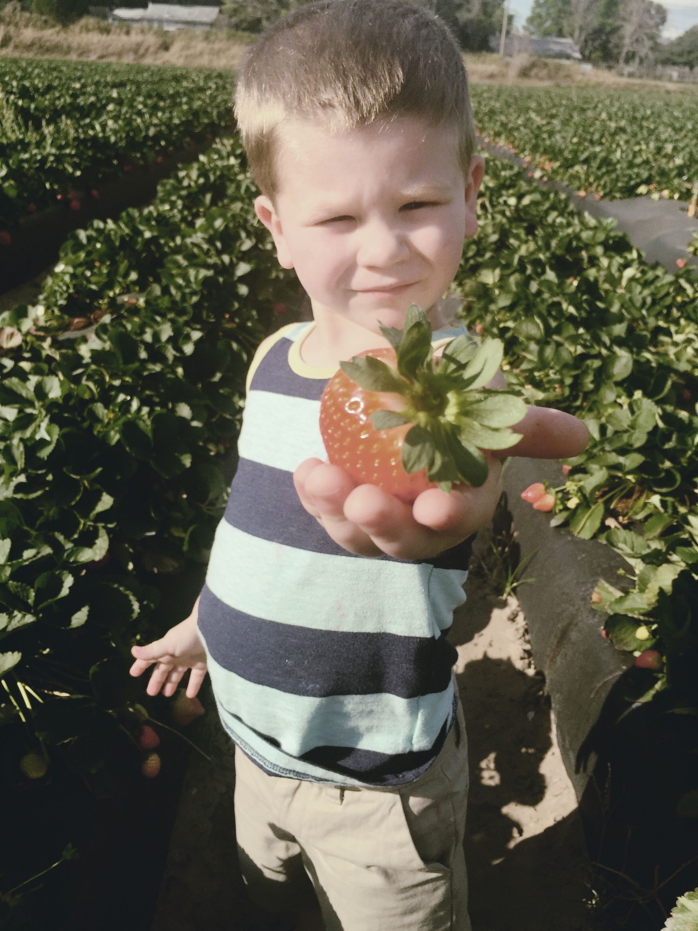 Strawberry Picking by heirloomed