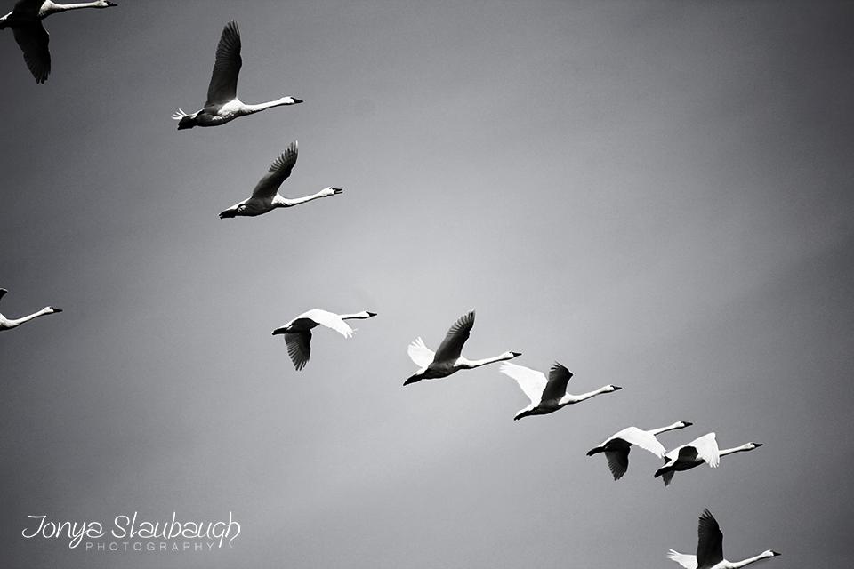Swansbw.jpg