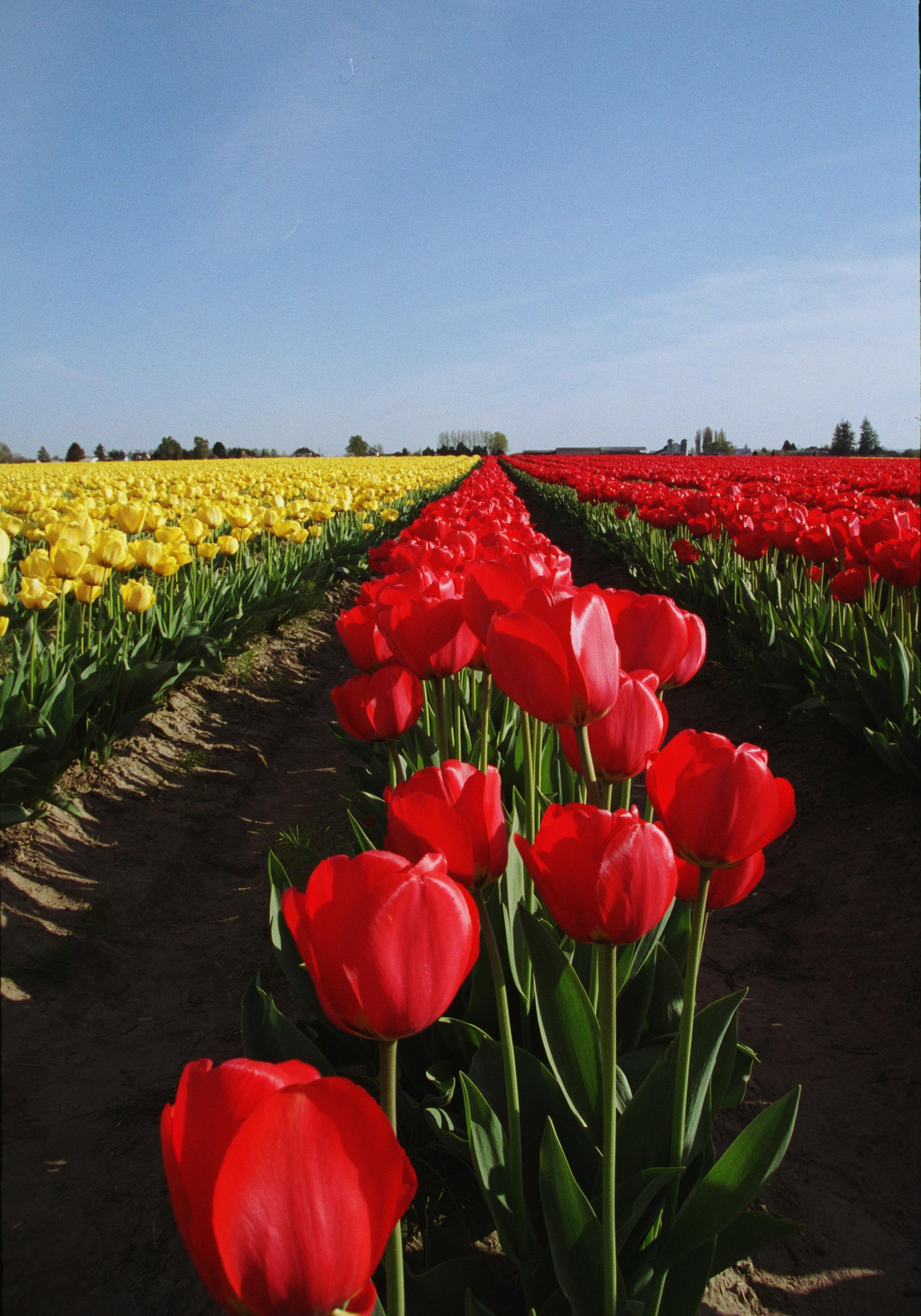 Tulips to Infinity - Skagit Valley Tulip Festival, WA