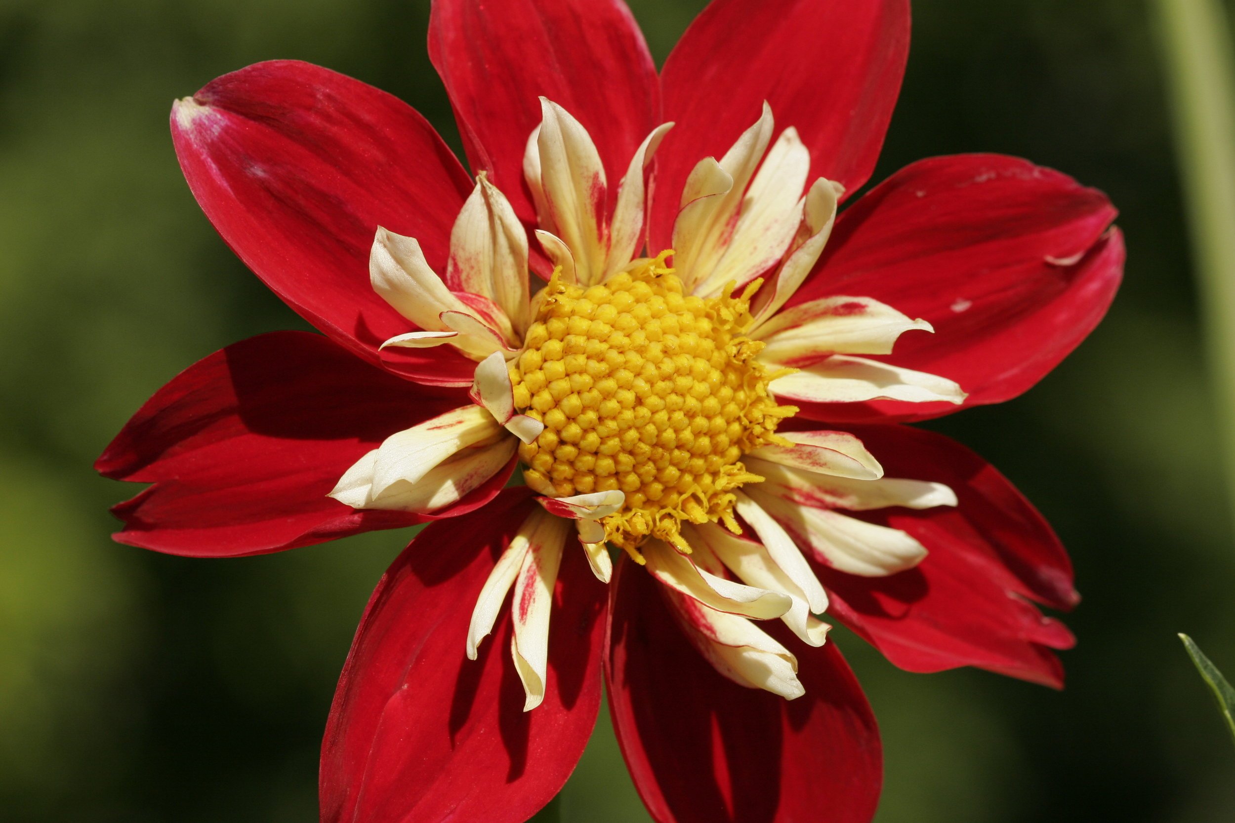 Red, White & Yellow Dahlia