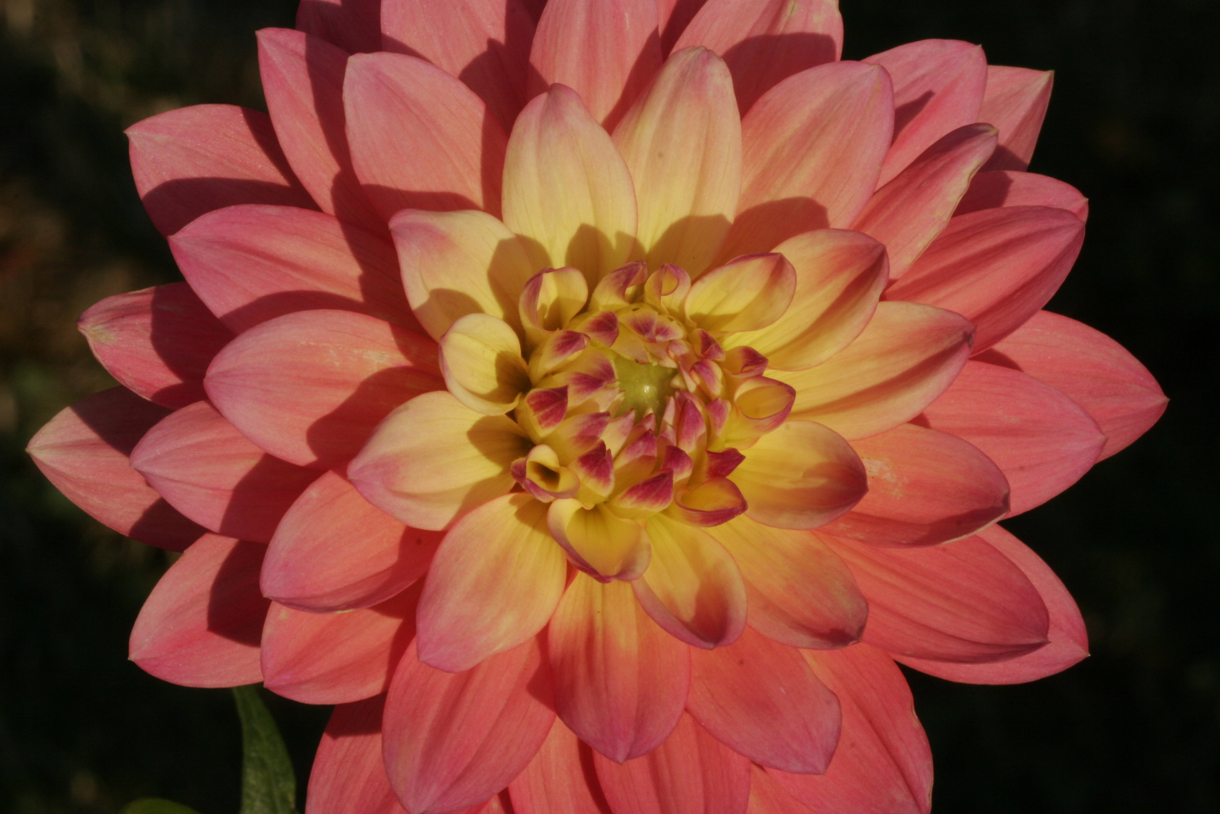 Dahlia in Setting Sunlight