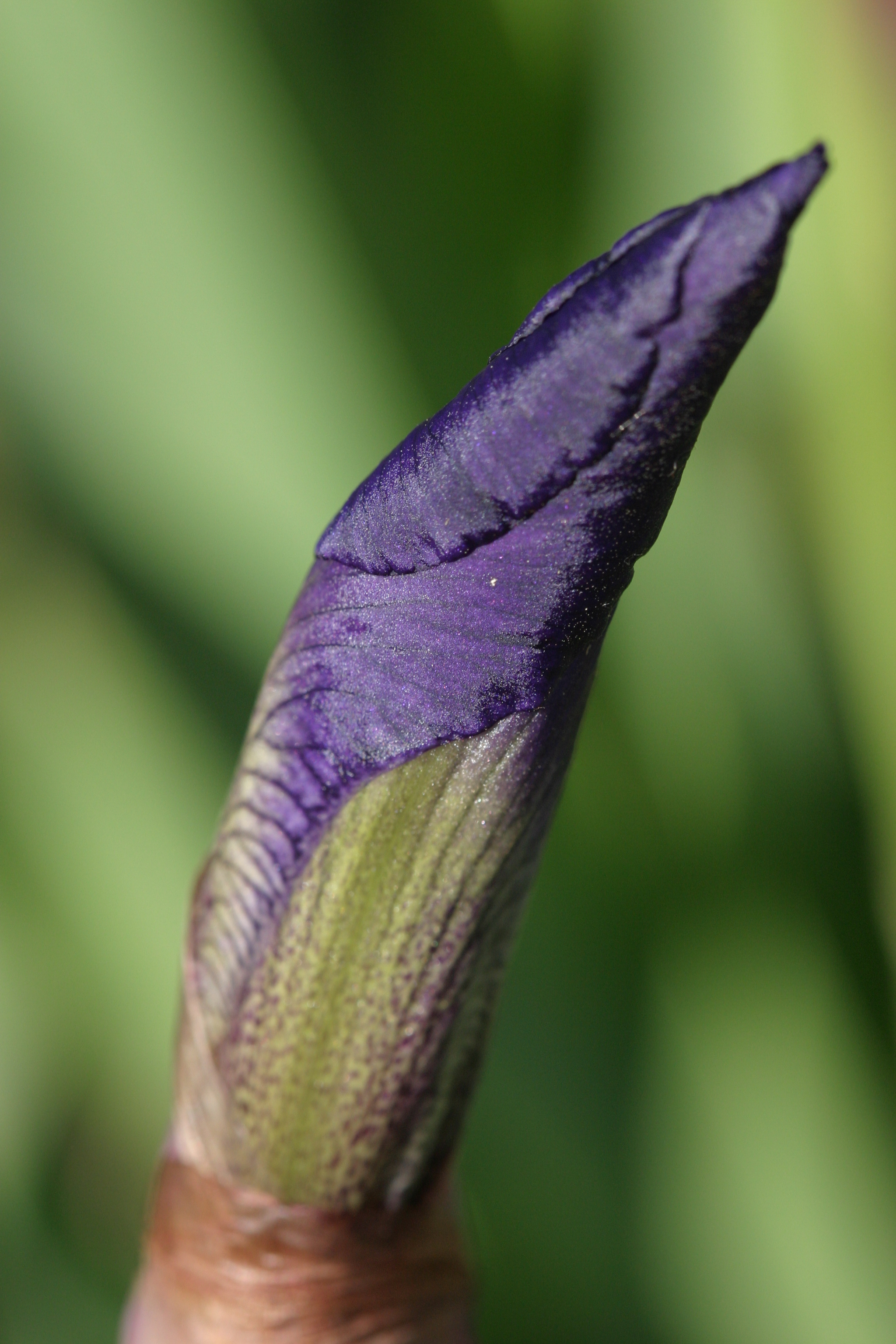 Iris About to Bloom
