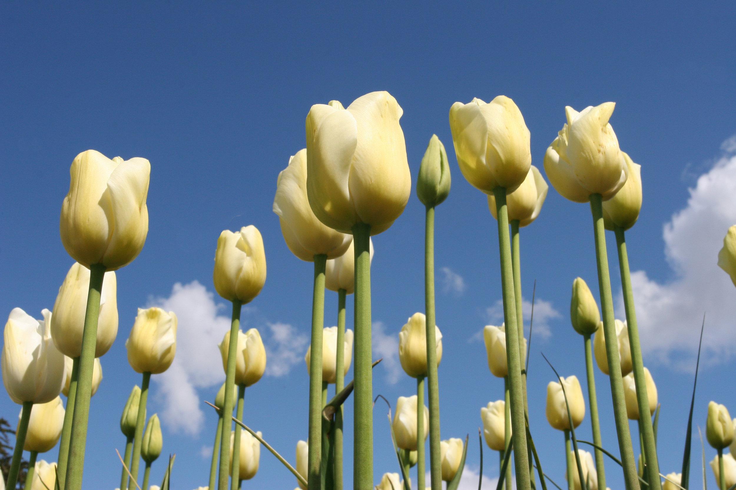 Standing Tall - Skagit Valley Tulip Festival, WA