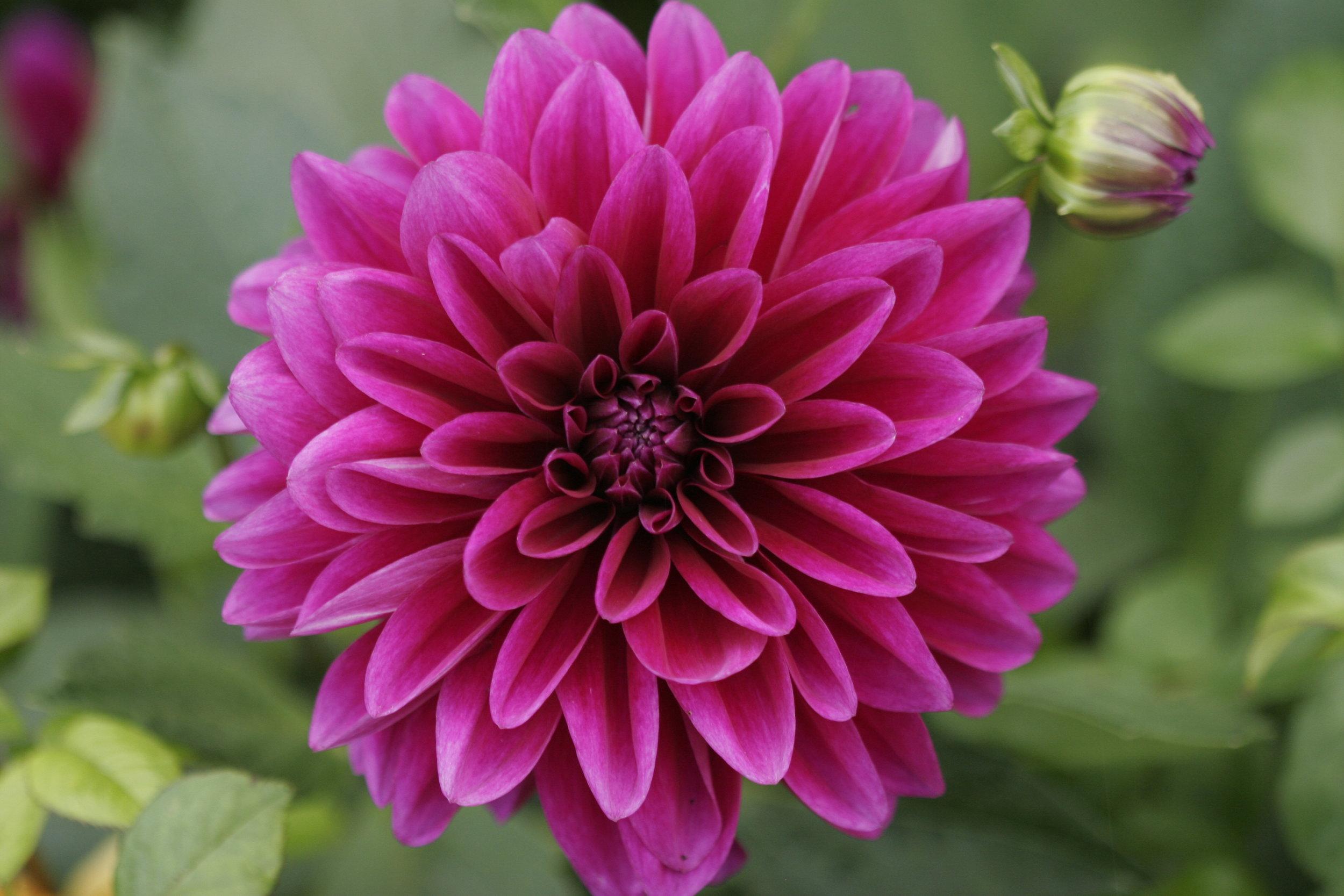 Dark Pink Dahlia