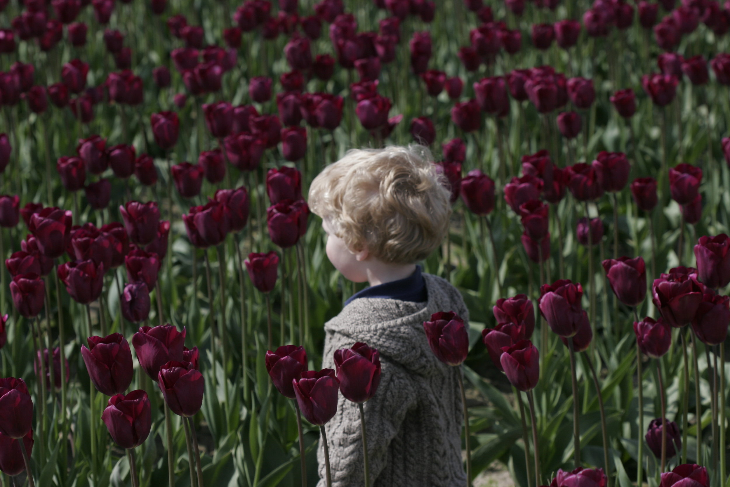 Little Boy in Tulips - Skagit Valley Tulip Festival, WA