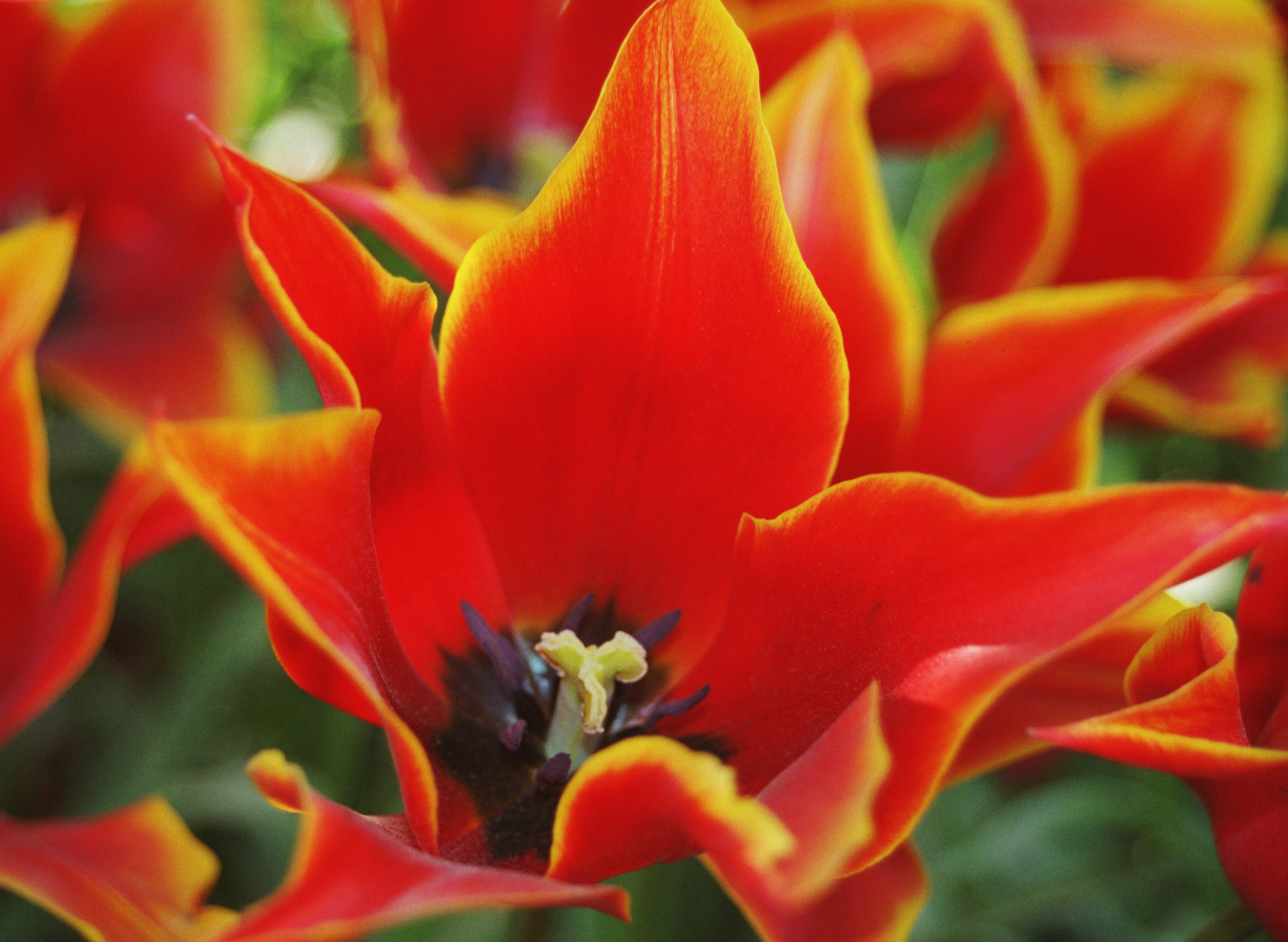 Fire Tulips - Skagit Valley Tulip Festival, WA