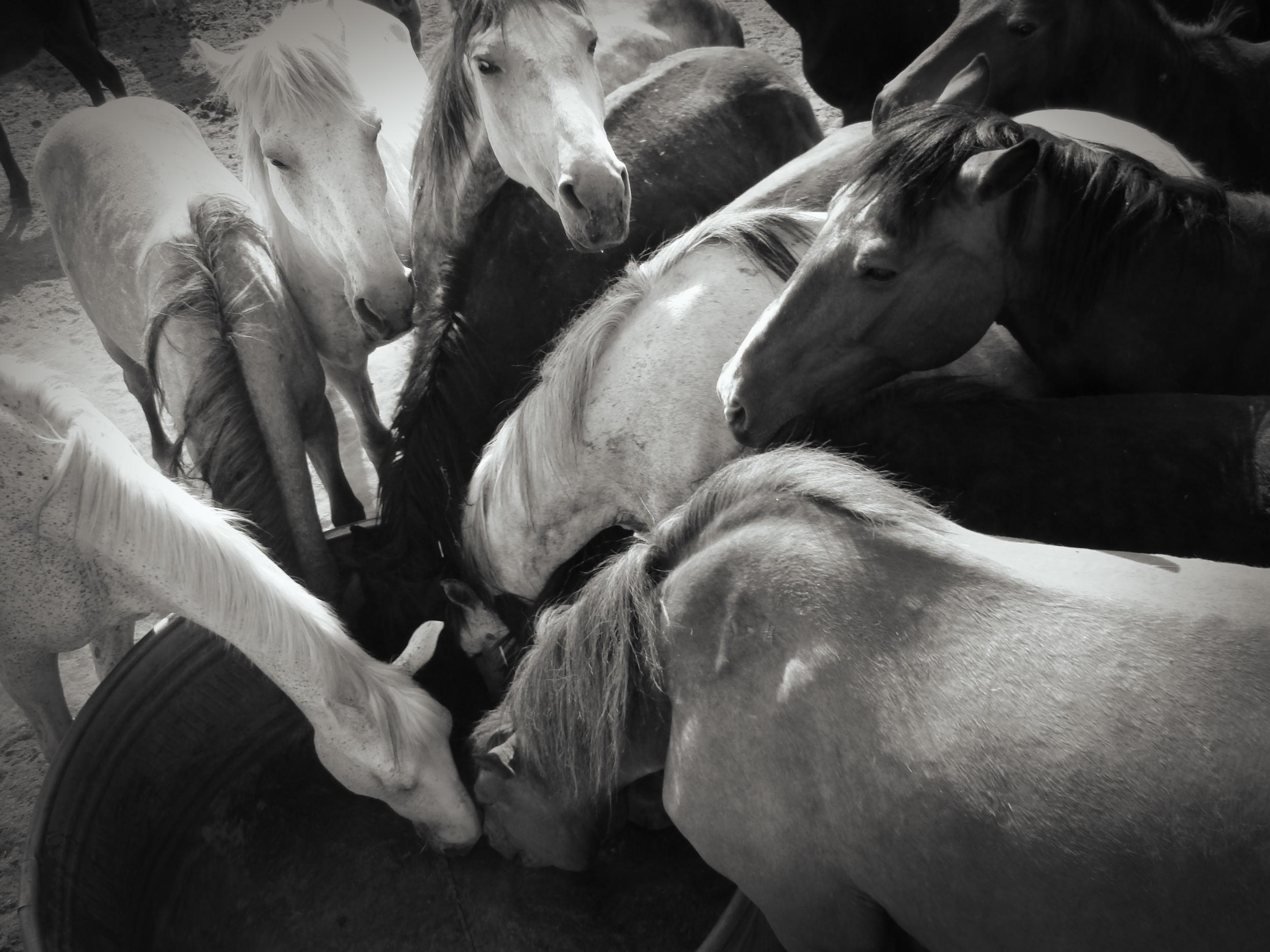 HORSES DRINKING.