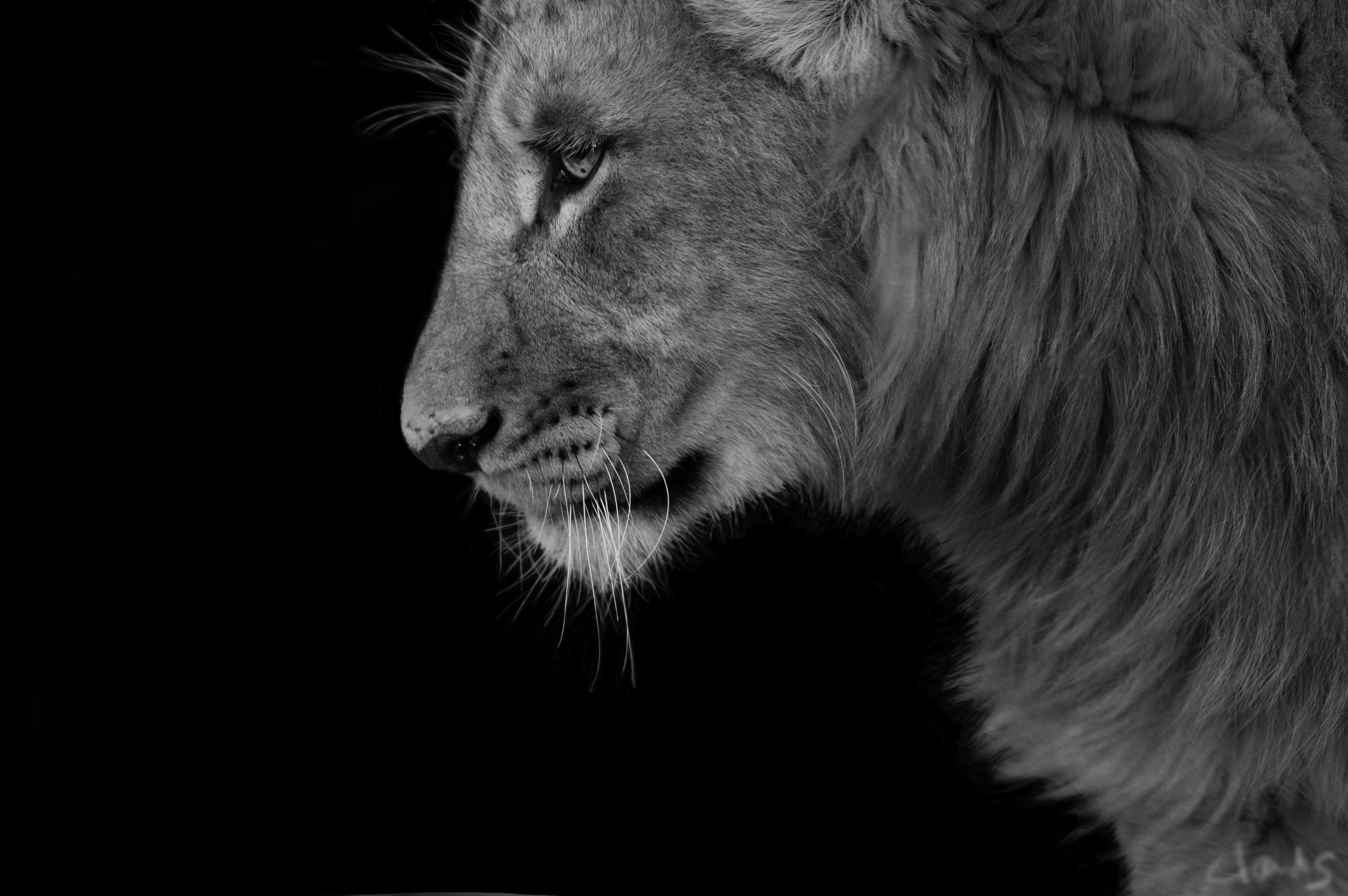 Mandla, SA, love lions alive sanctuary