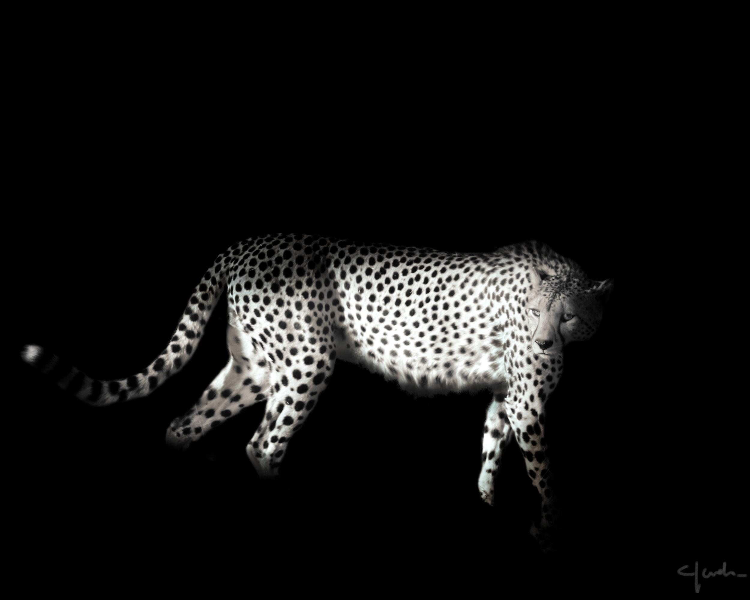 A cheetah walking, SA