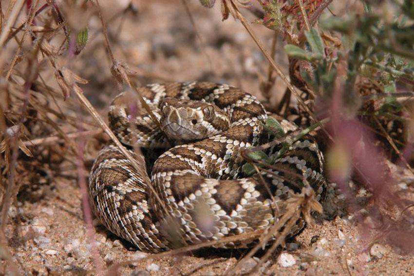 Crotalus_scutulatus_Mojave.jpg