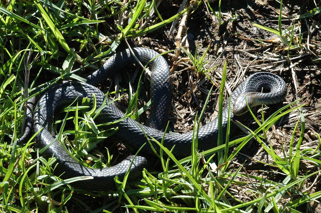 Black-bellied_Swamp_Snake_(Hemiaspis_signata)_III.jpg