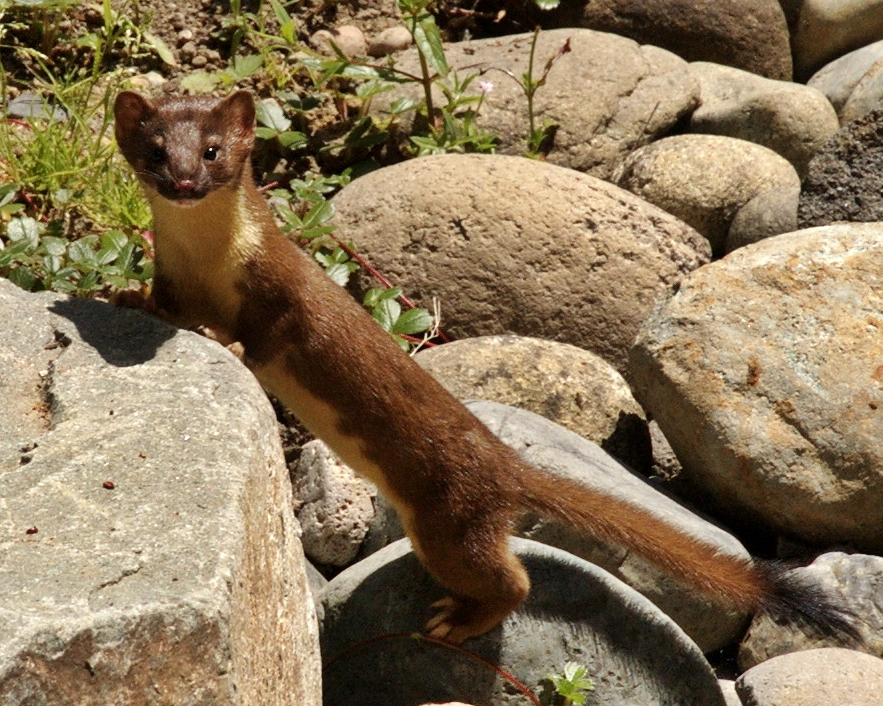 Long_tailed_weasel.jpg