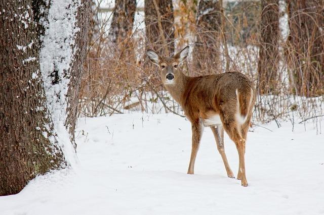 white tail deer.jpg