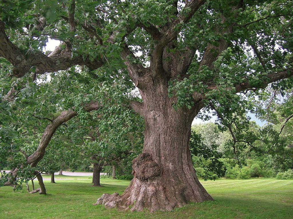 White_Oak_Tree.jpg