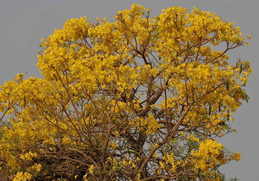 Caribbean_Trumpet_Tree_(Tabebuia_aurea).jpg