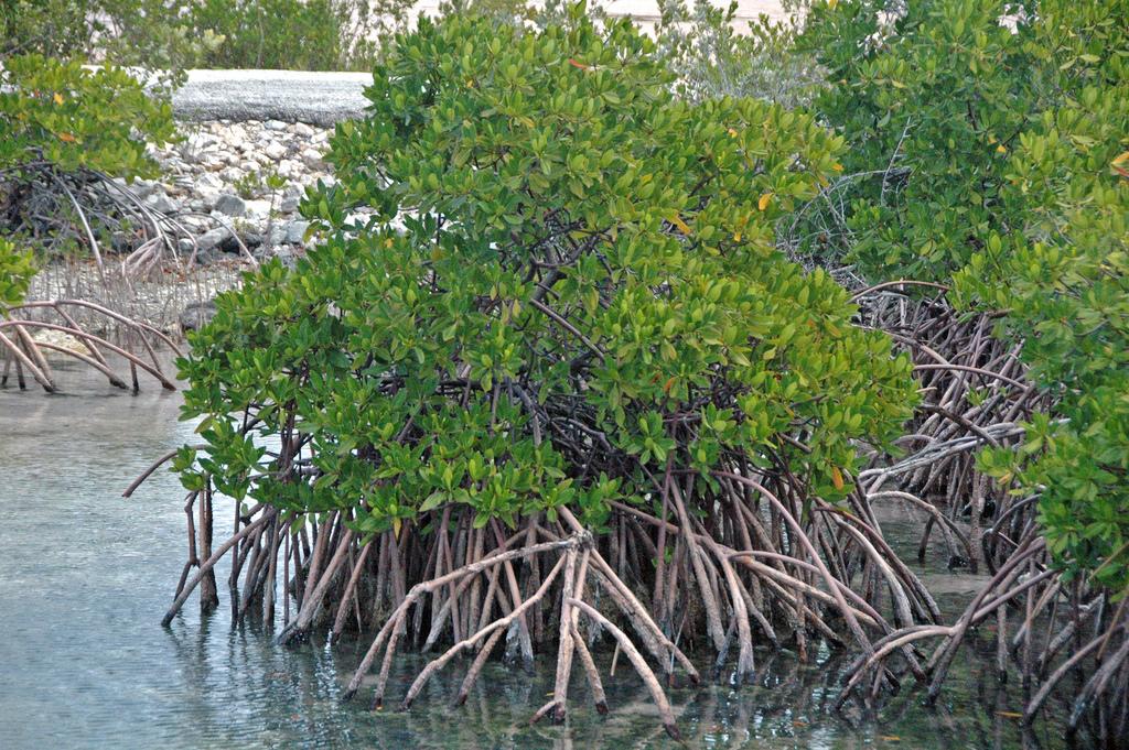 red mangrove.jpg