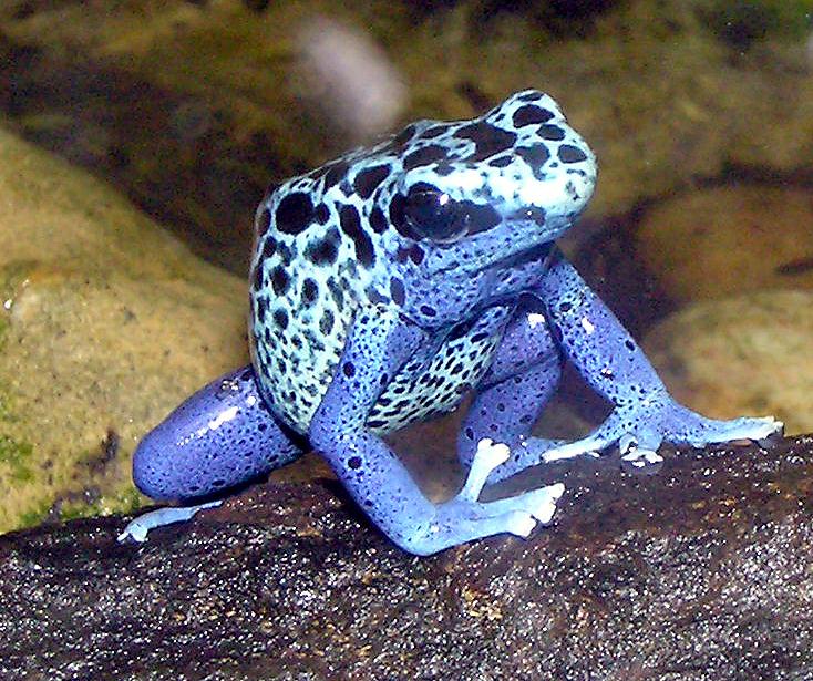 Blue.poison.dart.frog.arp.jpg