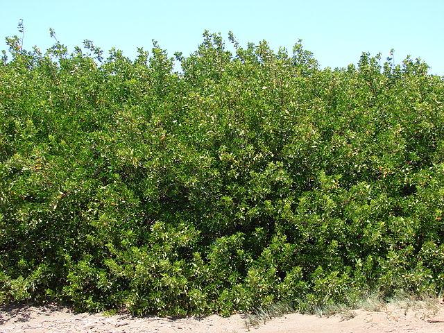 Conocarpus_erectus.jpg